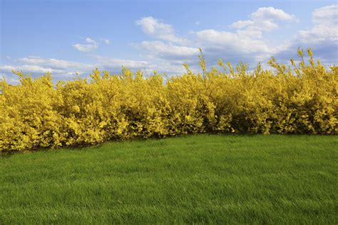 forsythia shrubs forsythia hedge pruning and care how and when to trim a forsythia hedge