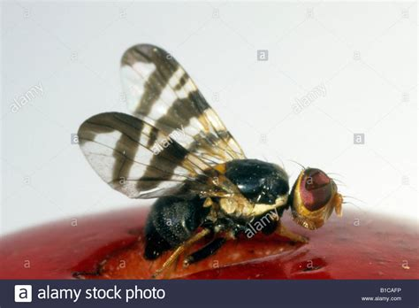 http://www.alamy.com/stock-photo-european-cherry-fruit-fly-rhagoletis-cerasi-on-cherry-studio-picture-18096730.html