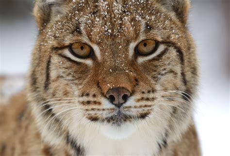 wild lynx zoo winter animal zoos animals forest eblogfa mammals austria vienna