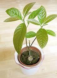 Avocado Baum Pflege : avocado pflanzen avocadobaum selber ziehen gr n pinterest ~ Orissabook.com Haus und Dekorationen