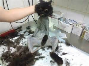how to shave a cat cat or cat oh my world