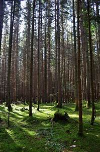 Dark pine forest landscape by Filipoe on DeviantArt