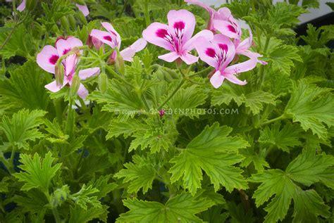 scented geraniums scented geranium lemon fancy plant flower stock photography gardenphotos com