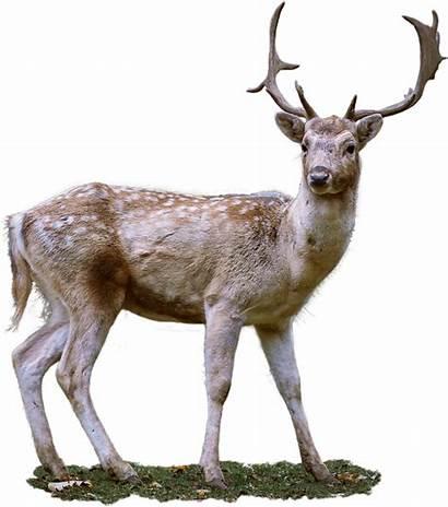 Deer Roe Transparent Fallow Antler Pixabay Background