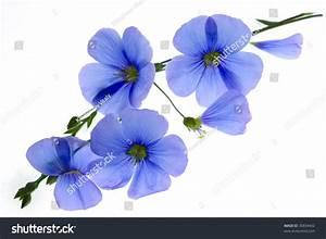 Blue Flowers On White Background Stock Photo 30834442 ...