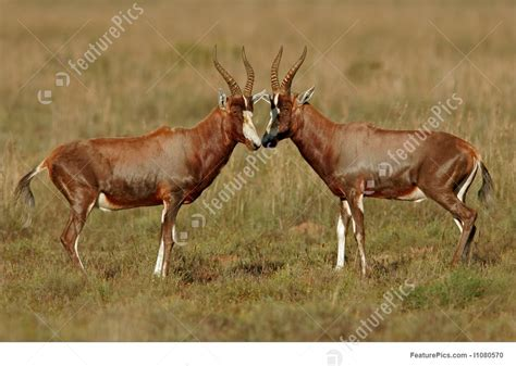 blesbok antelopes stock image   featurepics
