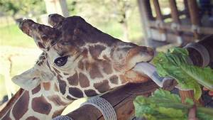 Wallpaper Giraffe  Jacksonville Zoo  Animal  Tourism