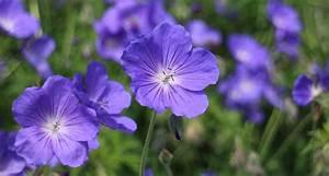 Immer Blühender Garten : drei blaue pflanzen die deinen garten f r immer ver ndern ~ Markanthonyermac.com Haus und Dekorationen