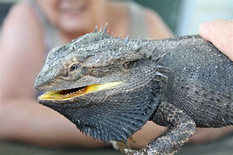 what kind of heat l for bearded dragon bearded dragon how often do lay eggs
