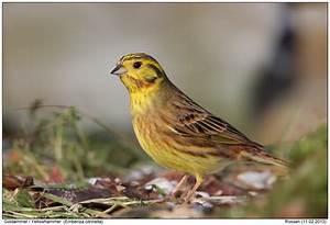 Heimische Singvögel Bilder : singv gel foto naturfotografie digital bilder mit ~ Whattoseeinmadrid.com Haus und Dekorationen