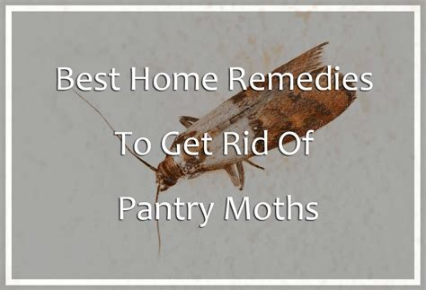 Moths In Pantry Where Do They Come From Best Home Remedies To Get Rid Of Pantry Moths Pest Wiki