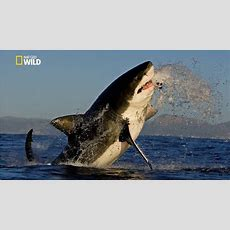 Savage Great White Shark [national Geographic New Documentary Hd 2017] Youtube