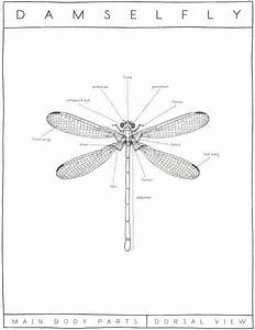 Damselfly Diagram  Ericaglover Com  With Images