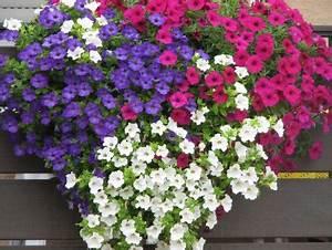 Blumen Für Den Balkon : farbenfrohe und widerstandsf hige balkonblumen ~ Lizthompson.info Haus und Dekorationen