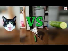 cats and cucumbers cats vs cucumbers compilation best prank vidoes