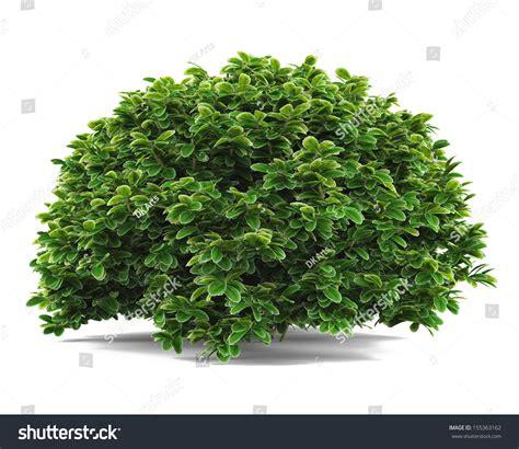 of bush plant bush isolated stock illustration 155363162 shutterstock