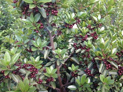 berried shrub what is this shrub with small brown berries snaplant com