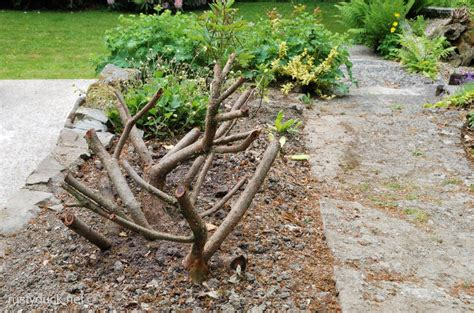 pruning yew trees remember this rusty duck