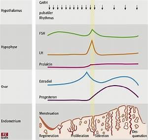 Weiblicher zyklus hormonelle steuerung
