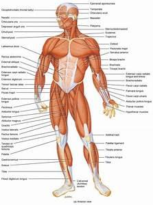 Human Anatomy Organs Rib Cage