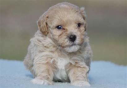 Moodle Puppies Puppy Kennels Chevromist