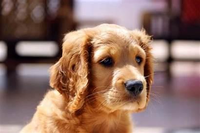 Golden Cocker Retriever Puppy Forever K9 Web