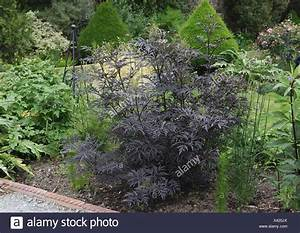 Holunder Black Beauty : sambucus nigra black lace stockfotos sambucus nigra black lace bilder alamy ~ Eleganceandgraceweddings.com Haus und Dekorationen