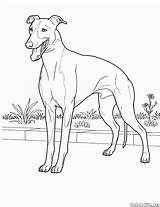 Doberman Coloring Pages Pinscher Printable Puppy Getdrawings sketch template