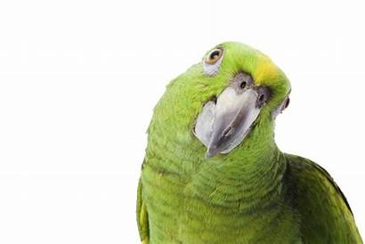 Parrot Transparent Yellow Background Naped Looking Side