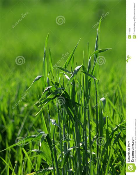 grass that spreads grass spreads 2 royalty free stock photos image 770098