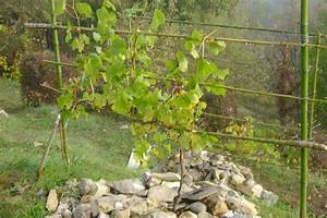 Achat Pied De Vigne Raisin De Table : comment planter vigne raisin de table ~ Nature-et-papiers.com Idées de Décoration