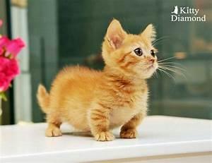 Munchkin kitten, so cute | Cute animals | Pinterest