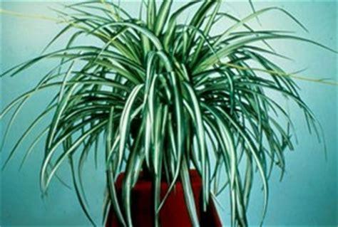plantes de bureau sans soleil des plantes pour un balcon sans soleil