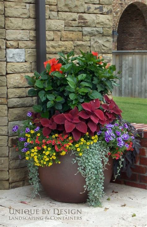 coleus container design ngb year of the coleus coleus with hibiscus and calibrachoas and more coleus pinterest