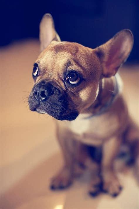 french bulldog dog names
