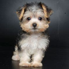 1000 images about small dog breeds on pinterest small