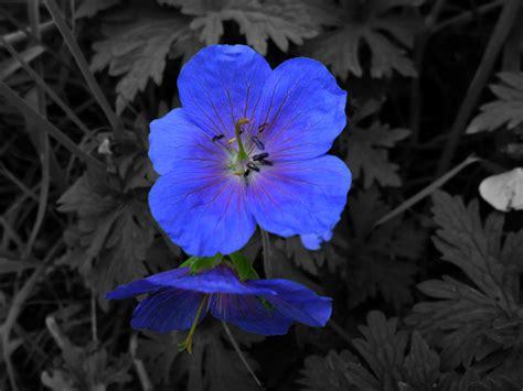 Sind Schwarz Und Weiß Farben by Die 84 Besten Schwarzwei 223 Blume Mit Farbe Hintergrundbilder