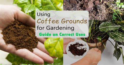 Garden of coffee is the antithesis of factory roasting. Using Coffee Grounds for Gardening   Guide on Correct Uses