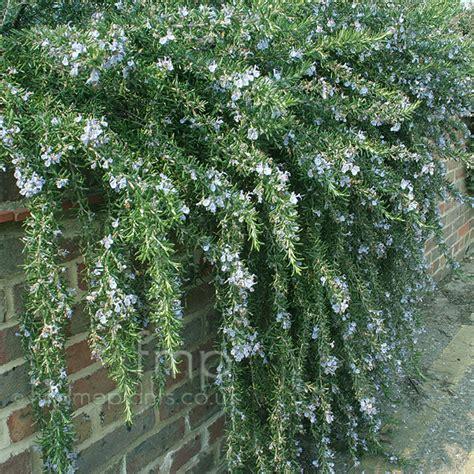 rosemary plant uk a big photo of rosmarinus officinalis from findmeplants