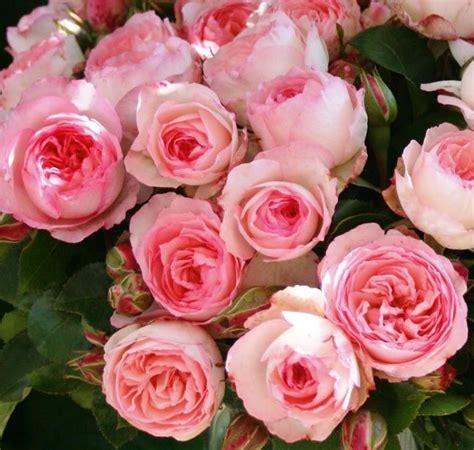 Rosarot Pflanzenversand Mini Eden Rose Kletterrose