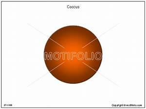 [ Coccus Bacteria Diagram ] - Best Free Home Design Idea ...