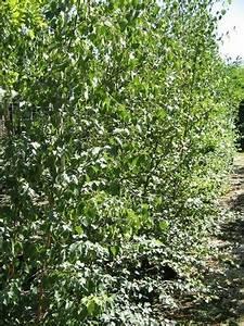 Arbre à Croissance Rapide Pour Ombre : pepinieres aillaud venelles arbre d 39 ornement et d 39 ombrage ~ Premium-room.com Idées de Décoration