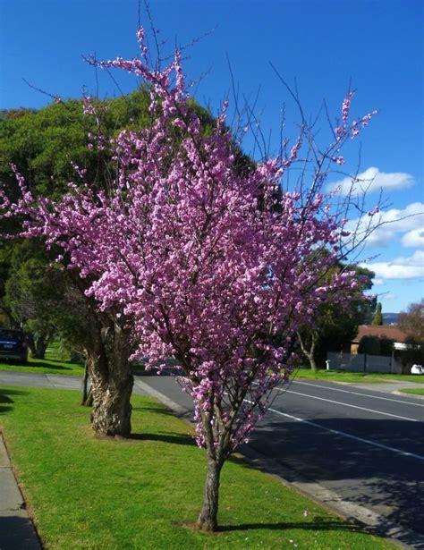 top  trees flowering plum prunus  blireana