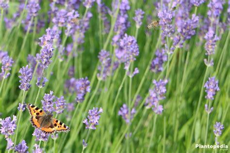 lavandula angustifolia care lavender lavandula angustifolia how to grow and care plantopedia