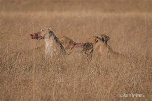 Lions hunt an unsuspecting warthog in Botswana - Africa ...