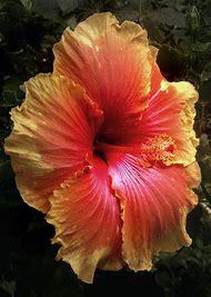 Multi Colored Hibiscus