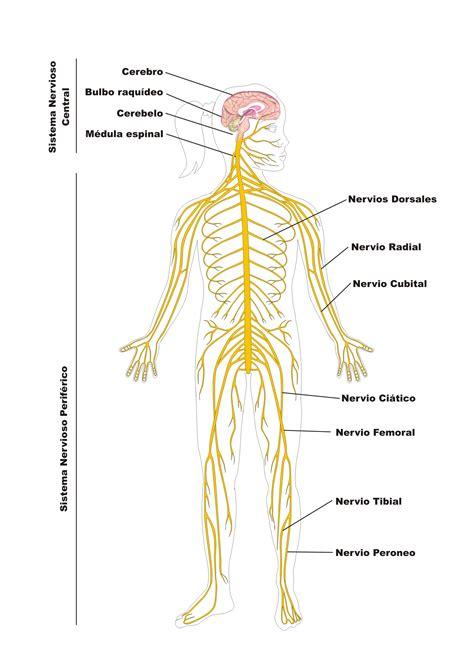 sistema nervioso periferico proyecto educere
