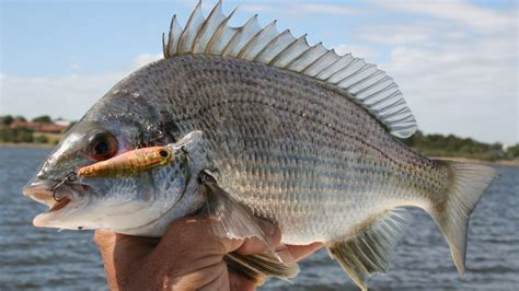 bream fishing cairns