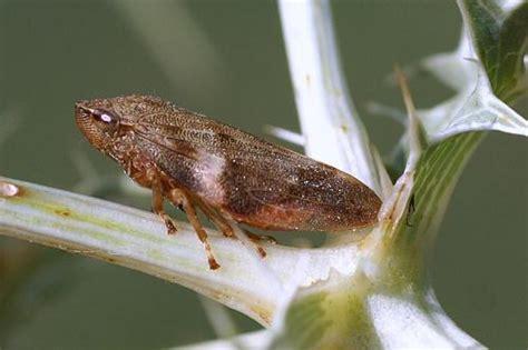 si鑒e sauteur aphrophora alni insecte sauteur le monde des insectes