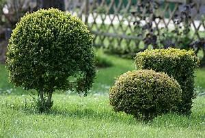 Buchsbaum Weißer Befall : buchs ~ Frokenaadalensverden.com Haus und Dekorationen